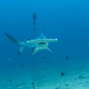 Áreas de crianza de Tiburón Martillo