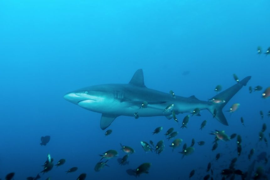 Carcharhinus galapagensis_SandraB