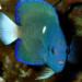 Artículo científico pez ángel endémico – Clipperton