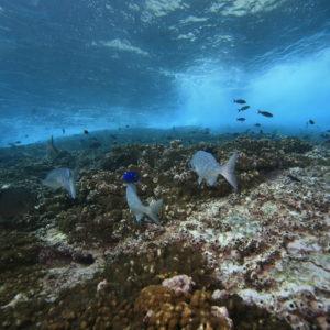 Montes submarinos: Refugio de la megafauna marina tropical